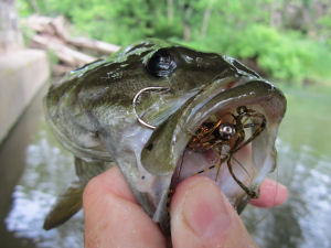 Bass with Fly in Mouth