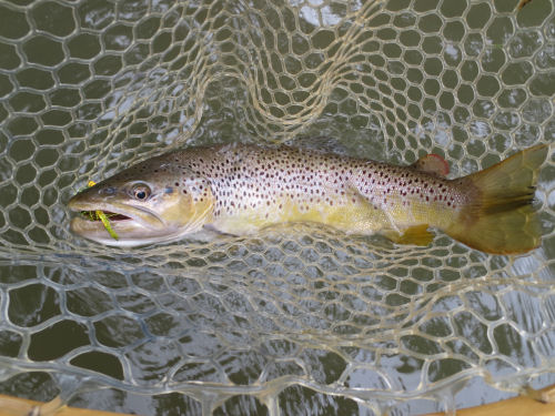 Brown Trout Driftless