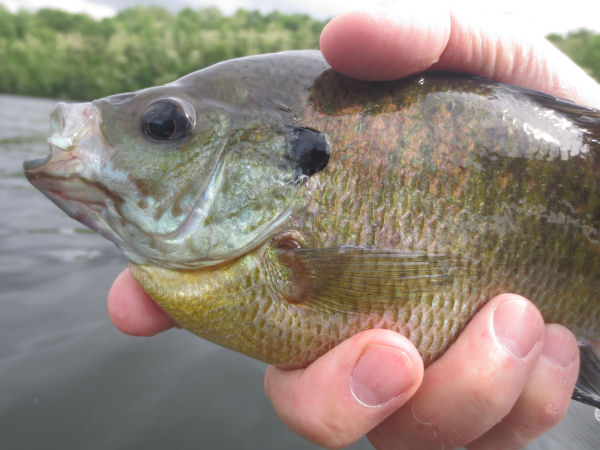 Bluegill caught fly fishing