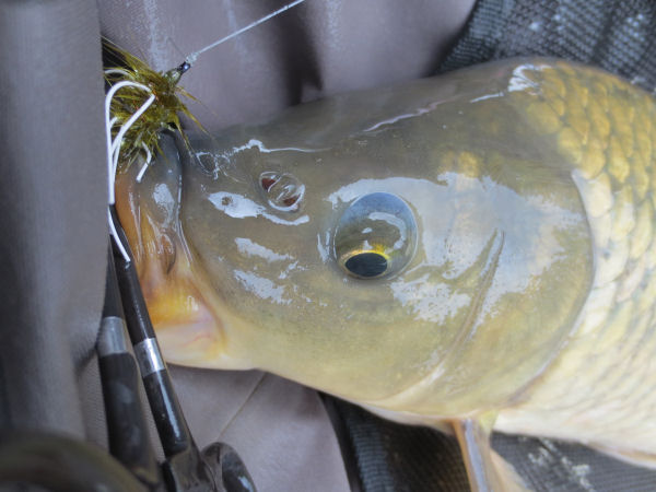 Carp caught fly fishing