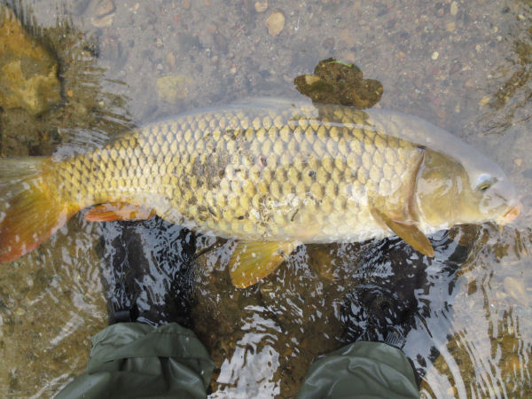 three pound carp