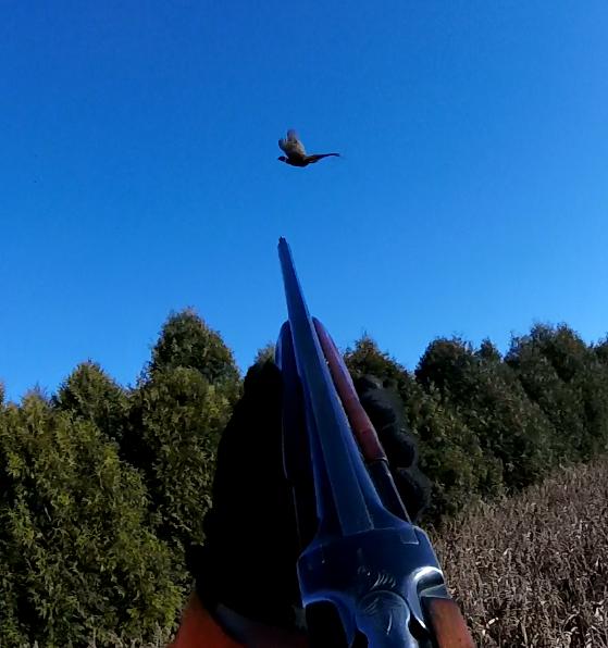 firing at a pheasant at PQ Ranch
