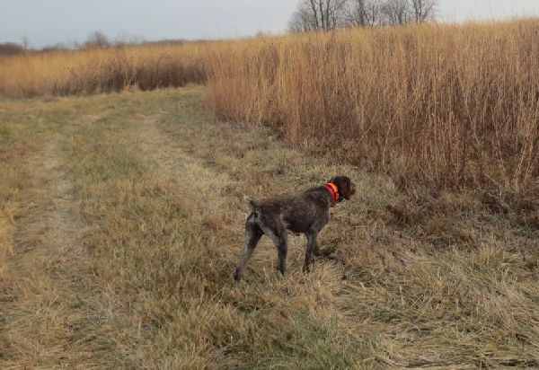 Pappi, my dog, pheasant hunting